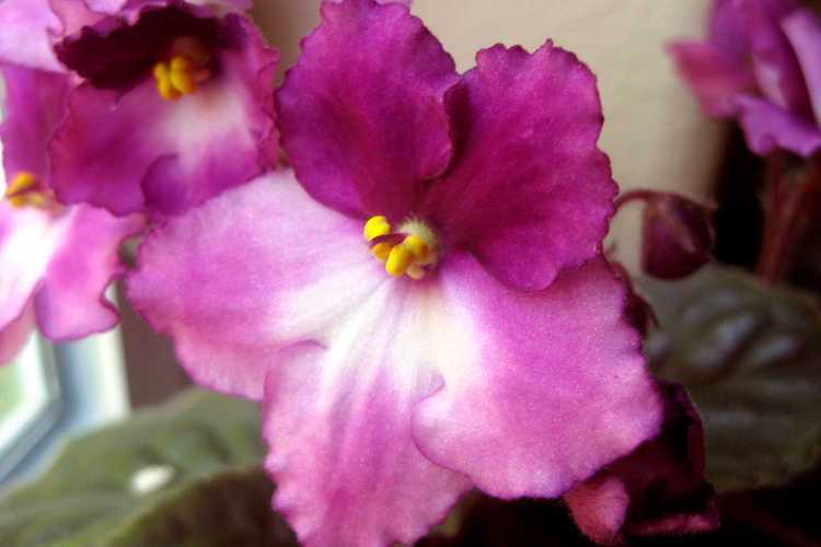 African violet, Horatio