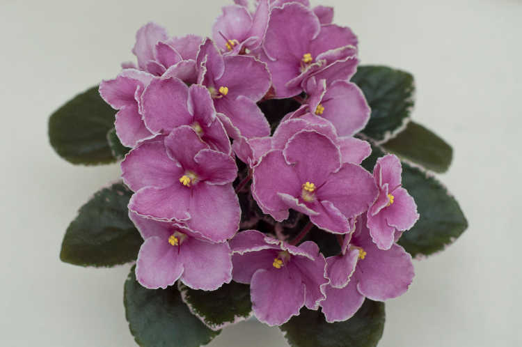 African violet, Ness Pixie Grin