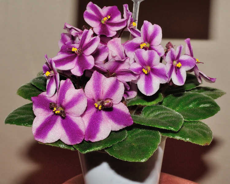 African violet, Ness Red Mini Soda