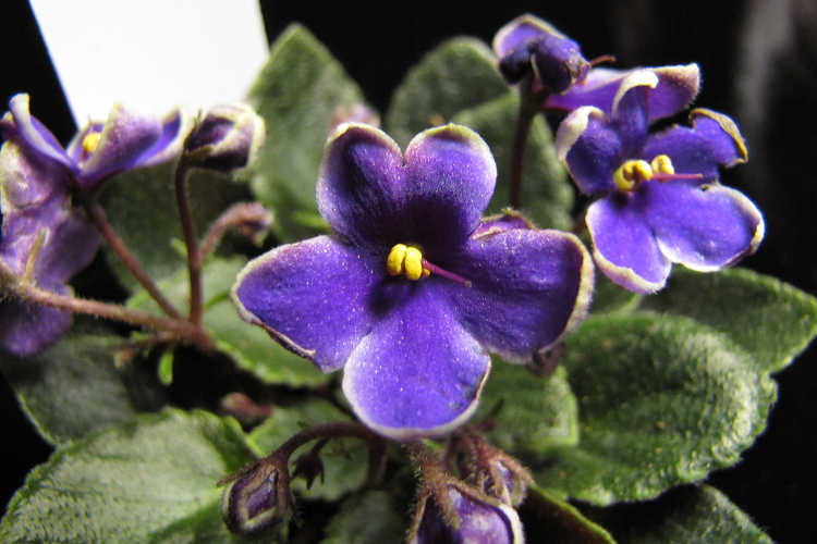 African violet, Optimara Little Azurite
