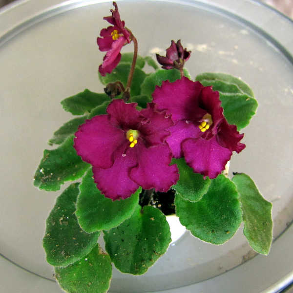 African violet, Optimara Little Maya