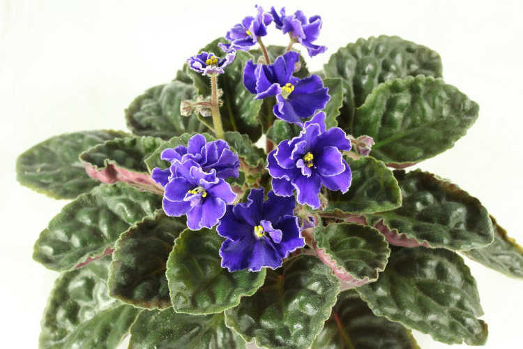 African violet, Optimara Martinique