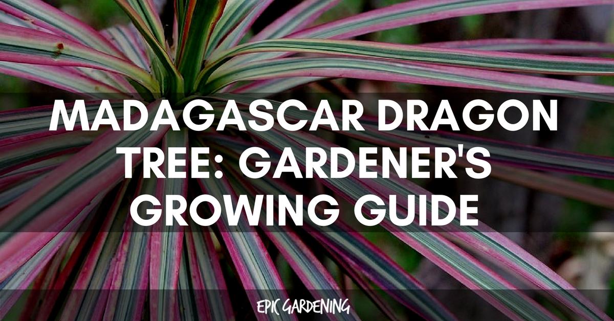 Madagascar Dragon Tree Dracaena Marginata Care Guide