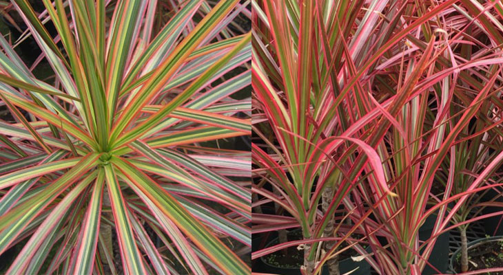 Dracaena Marginata Tricolor vs. Colorama Varieties
