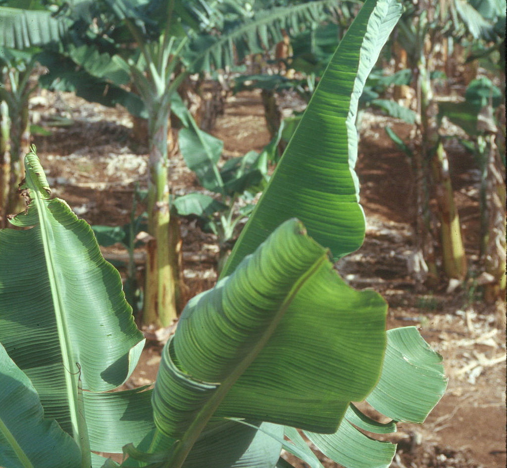 Banana Bunchy Top Disease causing leaf cupping