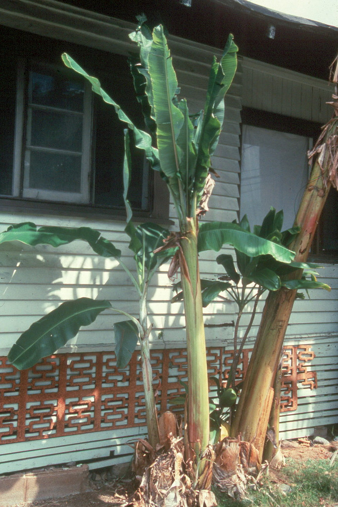 Dwarf banana tree, 'Apple Banana'