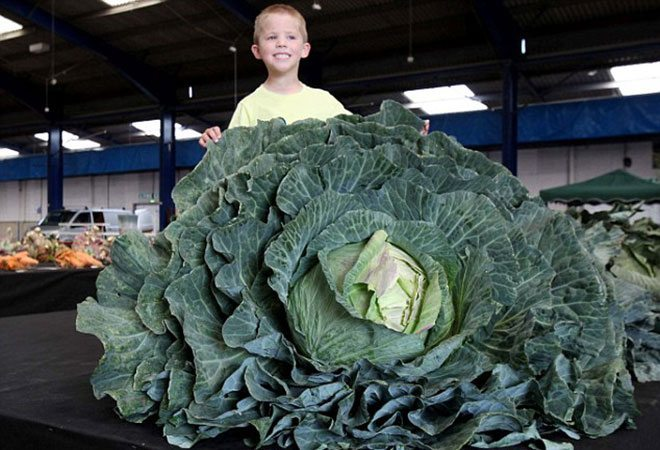 giant-cabbage