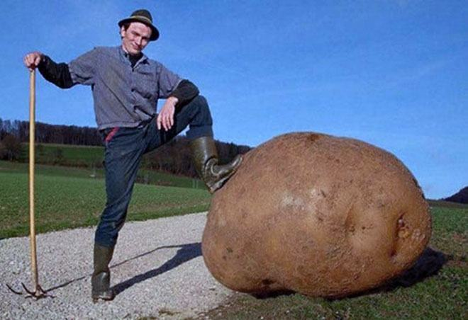 giant-potato