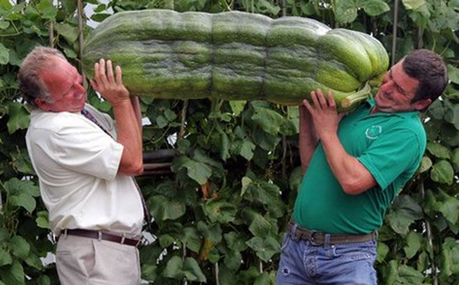 giant-cucumber-three