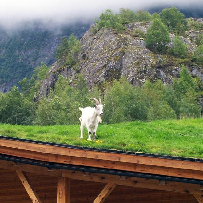 Goat on a Green Roof