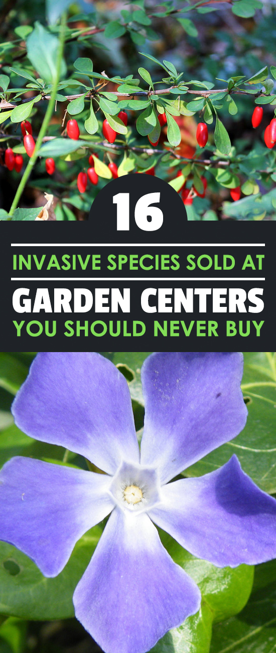 These 16 invasive species of plants are commonly sold at garden centers - beware of them and DO NOT buy them from your garden store!