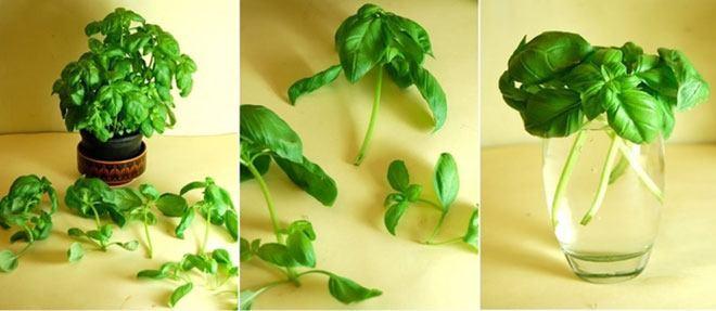How to regrow basil