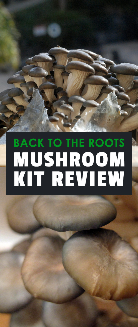 This review of the mushroom kit from Back To The Roots is everything you need to get started cultivating mushrooms in your home - no matter how little space you have!