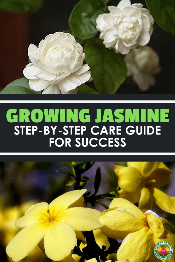 Blooming in the summertime, jasmine plants are known for their sweet, exotic fragrance on warm evenings. Learn how to grow and care for them here.