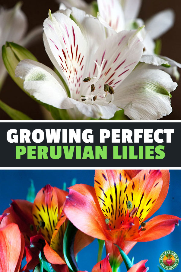 The alstroemeria, also known as Peruvian lily, is an odd plant that produces some of the most beautiful cut flowers you\'ll ever grow. Learn to grow here.