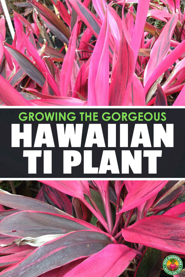 The Ti Plant is a wonderful Hawaii-native houseplant that\'s easy to care for an absolutely beautiful. Learn how to care for it in our in-depth guide.