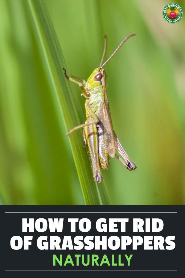 In this guide, you\'ll learn many different ways to prevent, control, and kill grasshoppers, even if they\'ve already infested your garden.