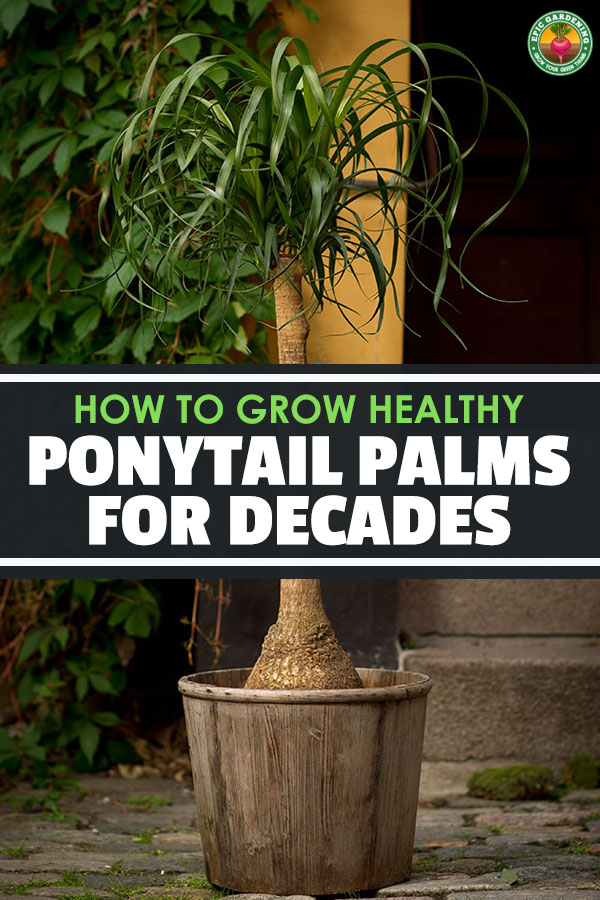 Ponytail palm care is surprisingly easy for a palm. Learn exactly how to grow beautiful beaucarnea recurvata in your home with this in-depth guide.