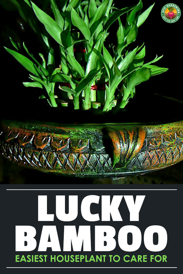 Lucky Bamboo has been a symbol of good fortune for over 4,000 years. Also known as Dracaena sanderiana, it will thrive in almost any area of the home.