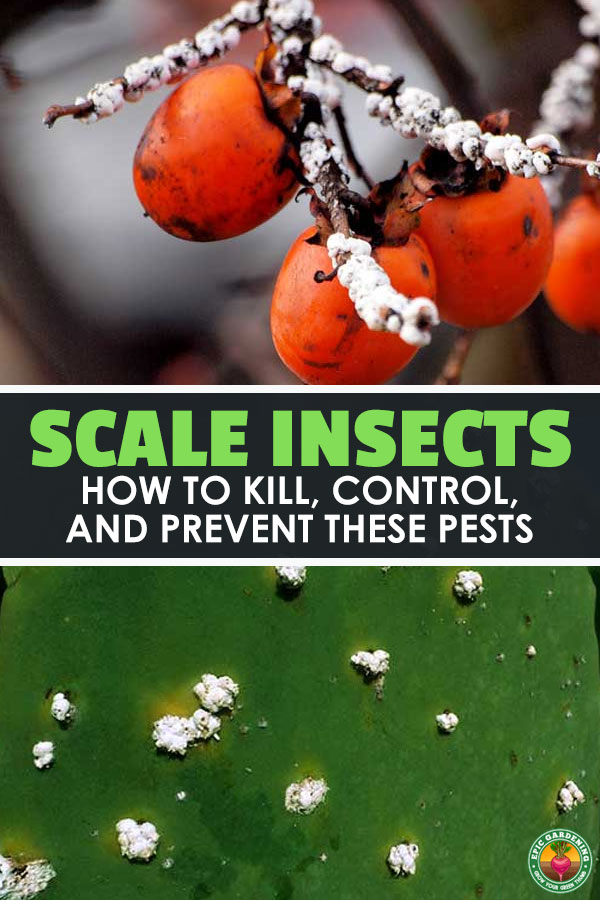 Are your plants yellowing or losing leaves? Do you have sooty mold growing on them? You may have scale insects. Learn how to wipe them out with our pest guide!