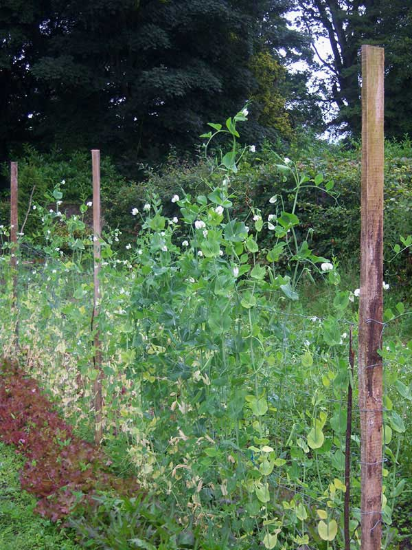 English pea plants