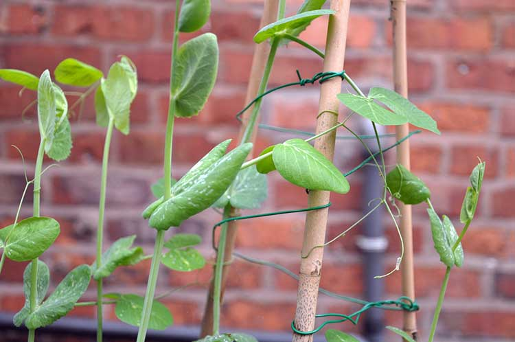 Sugar Snap Pea Plants