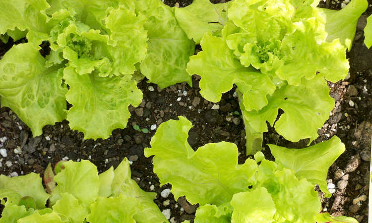 Black Seeded Simpson lettuce