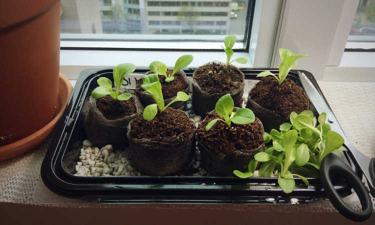 Little Gem lettuce seedlings
