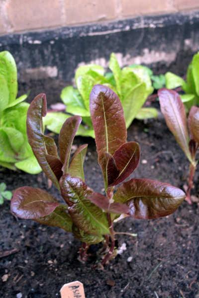 Rouge d'Hiver lettuce plot