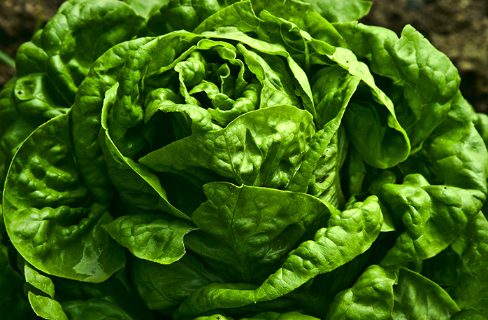 How fast does lettuce grow?