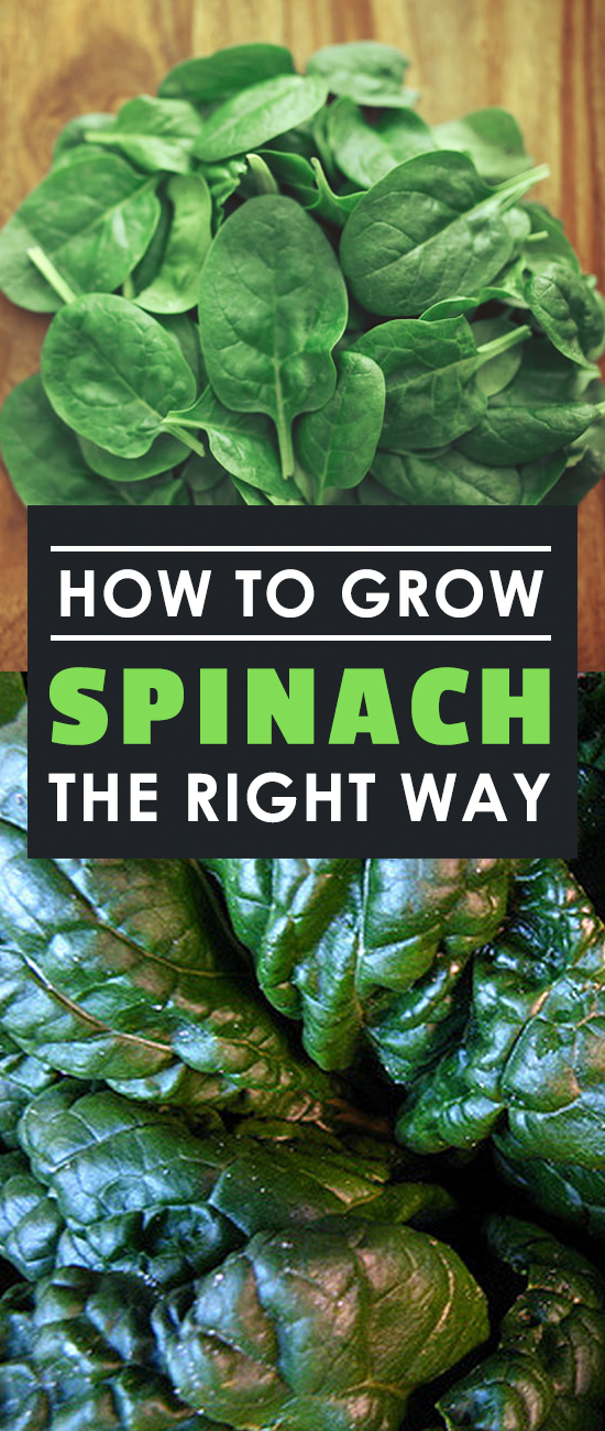 Learning how to grow spinach will unlock a lifetime of never-ending, delicious leafy greens that can be added to juices, salads, or any other kitchen classic.