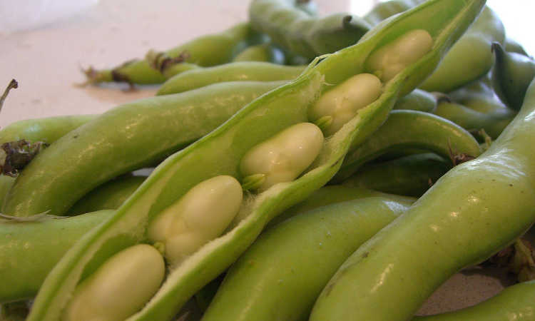 Broadbeans in shell