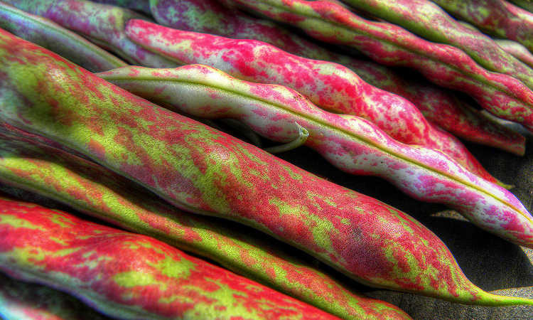 Cranberry beans in pod