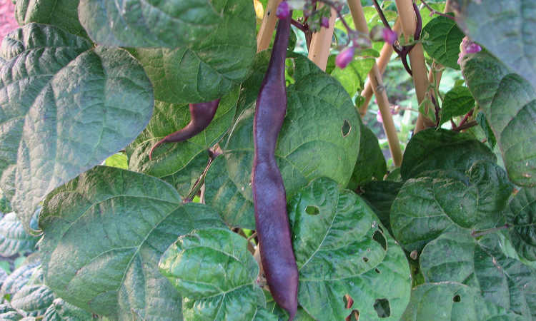 Purple pod pole beans with insect damage