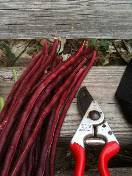 Red Noodle beans beside Felco pruners