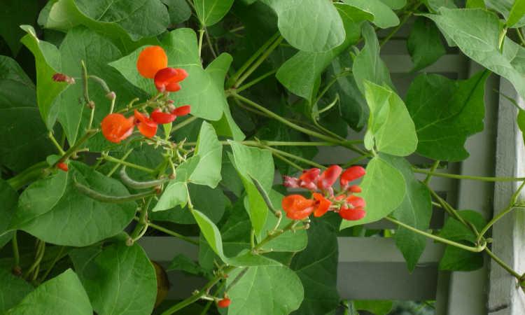 Scarlet Runner bean plant