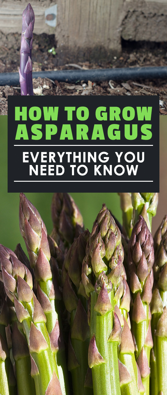 Asparagus is one of the most rewarding plants to grow once you know how to do it. Learning how to grow asparagus right is the key. Updated for 2018!