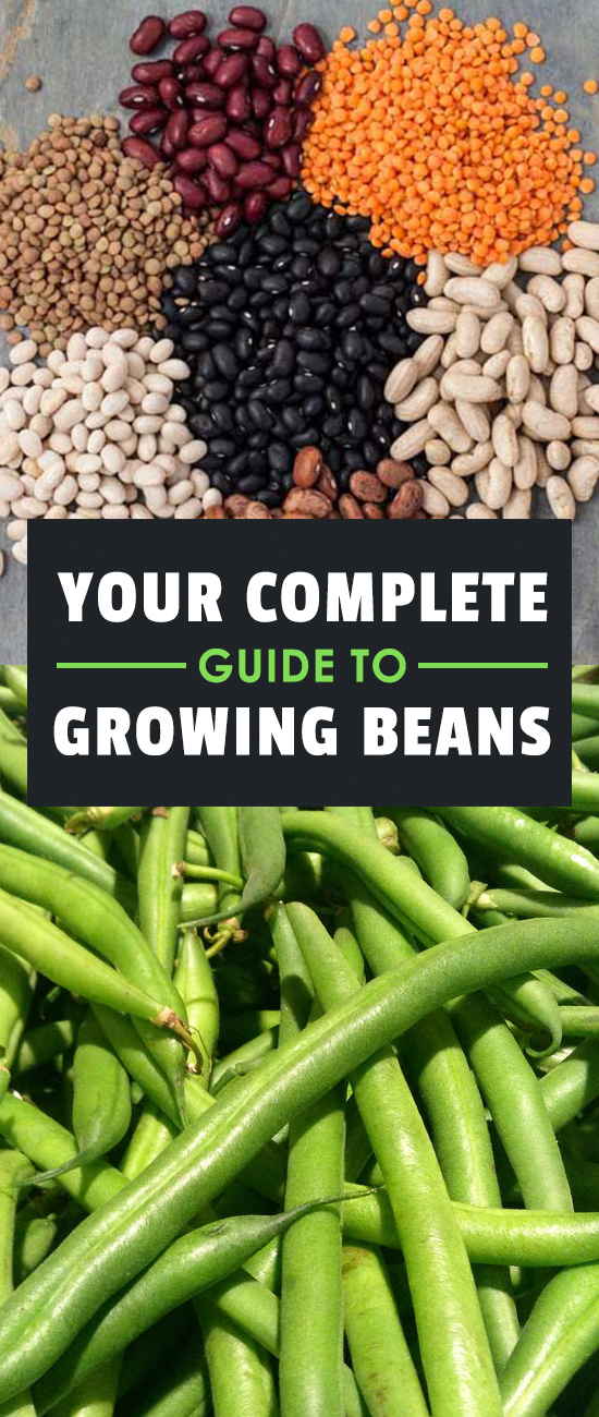 Learning how to grow beans means you\'ll never be without a great source of protein in your diet. They\'re one of the fastest and easiest veggies to grow!