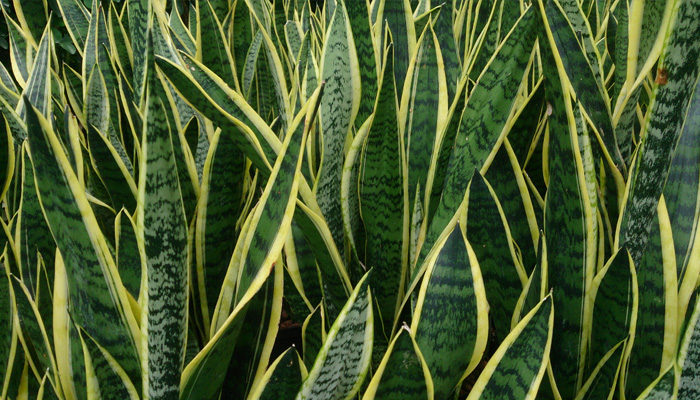 Snake Plant Indoor Plants