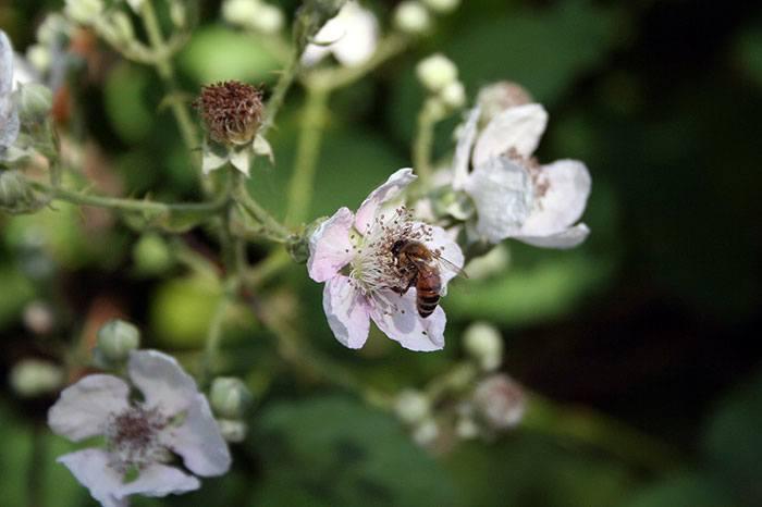 Rubus-armeniacus