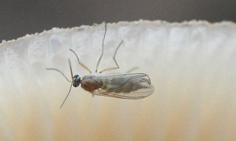 Fungus gnat on flower petal