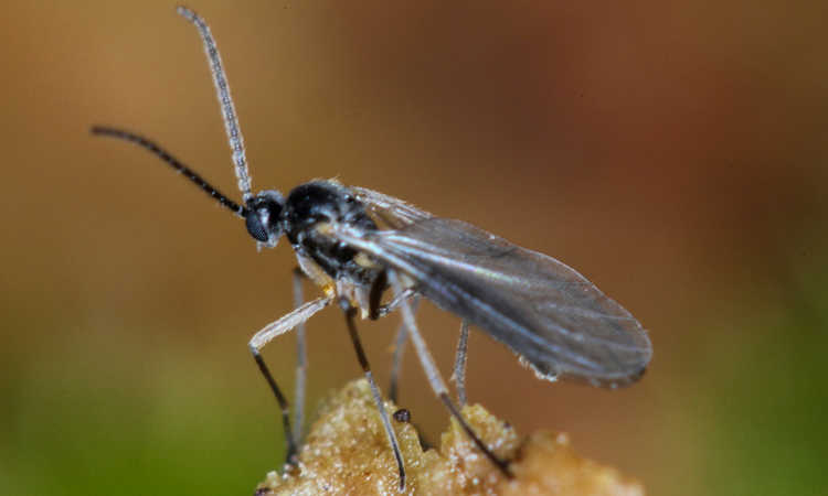 Fungus Gnats: How to Kill Them Forever (2018 Update)