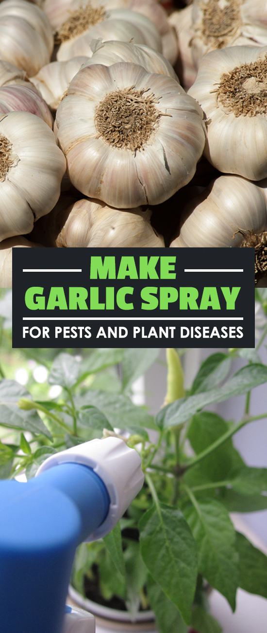 Garlic spray is one of the cheapest and most eco-friendly way to treat pests and plant diseases. Learn how to make your own garlic spray at home.