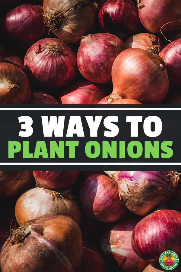 There are a few different ways you can grow onions, all with their own benefits. Learn how to plant onions in this simple, quick guide.