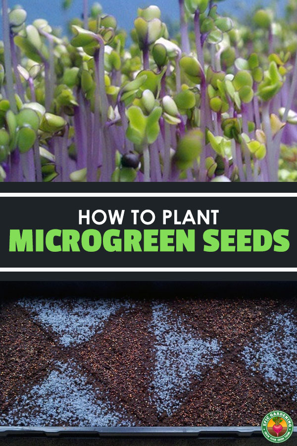 Learn how to plant microgreen seeds to grow your own healthy, fun miniature greens! Part of an Epic Gardening series on growing microgreens.