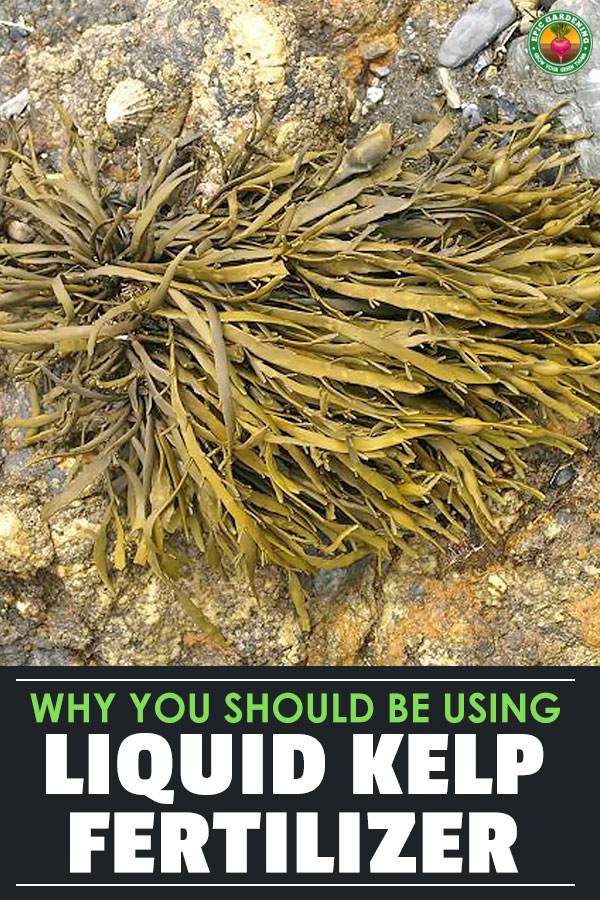 Liquid kelp fertilizer is a secret weapon of gardeners and farmers worldwide. Learn what it is, how to use it, and which types are best for your garden.