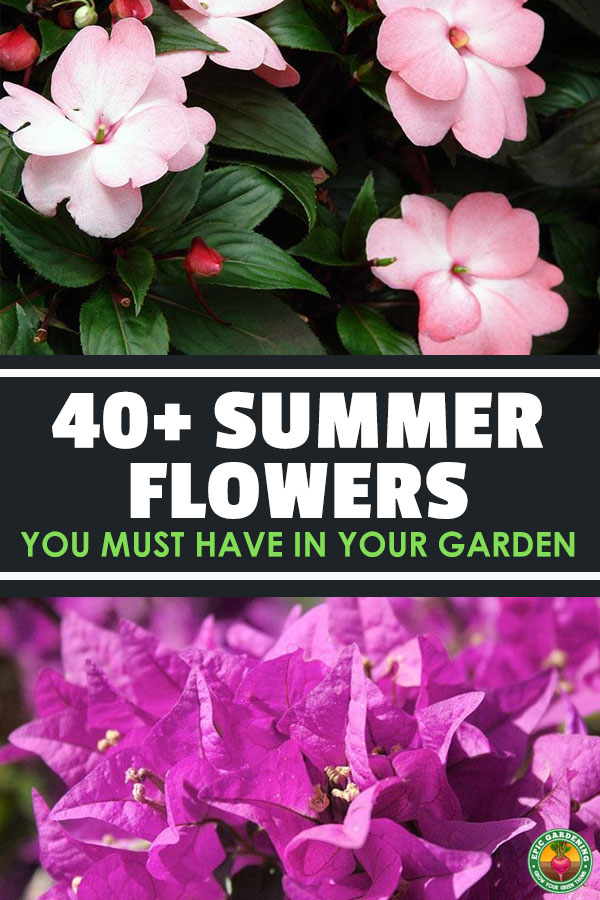 Learn how to grow perennial flowers that bloom all summer, including summer flower images and growing tips.