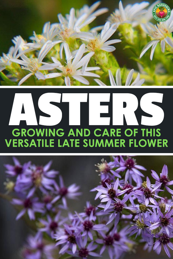 Growing asters is a great way to get started in flower gardening. Asters are very easy to grow and a beautiful addition to a summer garden!