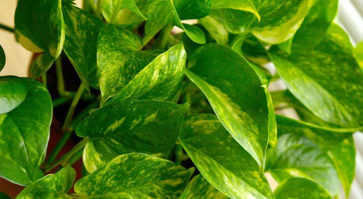 Golden Pothos house plant for air purification and sleep