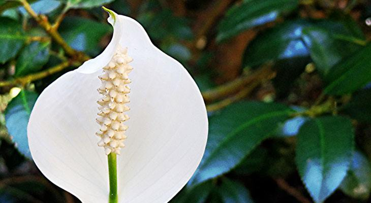 Peace Lily house plant for air purification and sleep